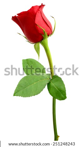 A red rose. Isolated white background - stock photo