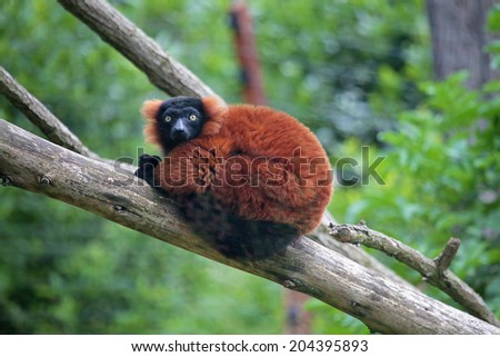 A red ruffed lemur (Varecia rubra) between the branches of a tree - stock photo