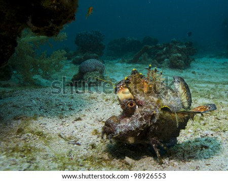 A Red Sea Walkman, a strange-looking fish, sits on sand close to coral - stock photo