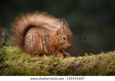 A Red Squirrel foraging for food on a moss covered  fallen birch log in the English Lake District. - stock photo