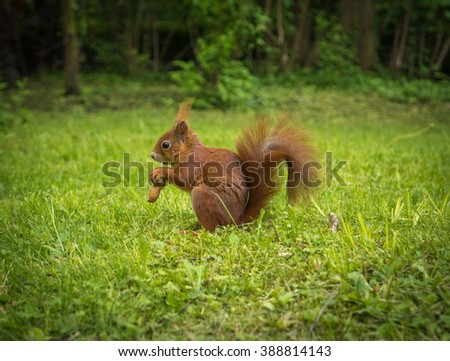 A Red Squirrel In A Park With A Peanut - stock photo