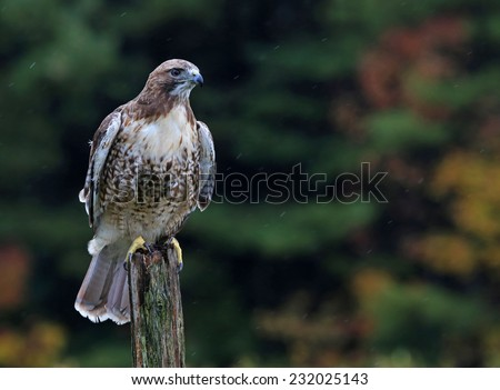 A Red-tailed hawk (Buteo jamaicensis) sitting on a post.  - stock photo