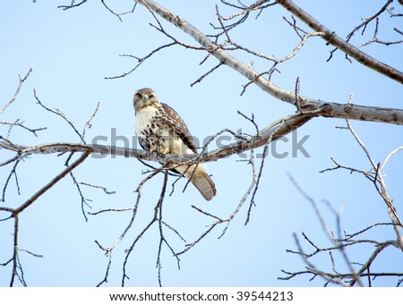 A Red-tailed hawk perched in a tree. - stock photo