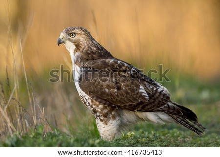 A Red-tailed Hawk sits on the ground while it searches for food in the early morning sunlight. - stock photo