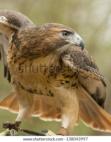 A red tailed hawk spreads his wings ready to fly. - stock photo