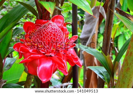 A red Torch Ginger in the jungle of the Big Island of Hawaii. - stock photo