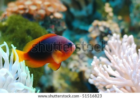 A red tropical fish with reefs and rocks in the background. - stock photo