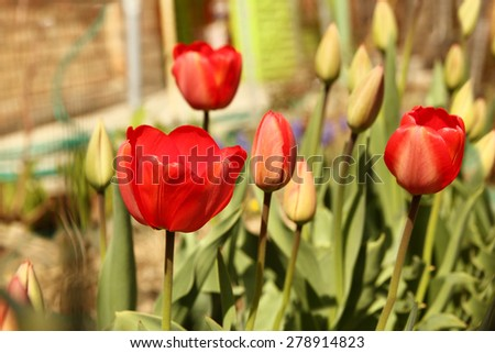 a red tulip flower garden - stock photo