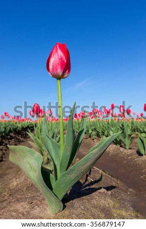 A red tulip plant with one bloom stands out from the rest at a farm in Oregon with a blue sky background. - stock photo