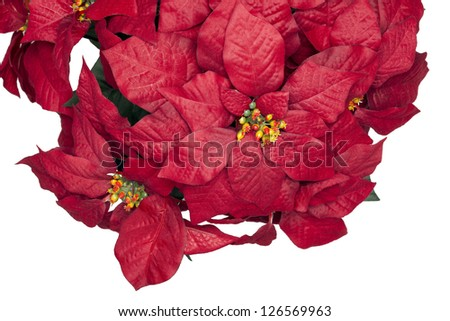 A reddish poinsettia hanging on a white background - stock photo