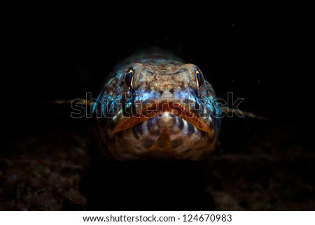 A Reef lizardfish (Synodus variegatus) peers out of a hole waiting for potential prey fish to swim by.  This species is found throughout the Indo-West Pacific region. - stock photo