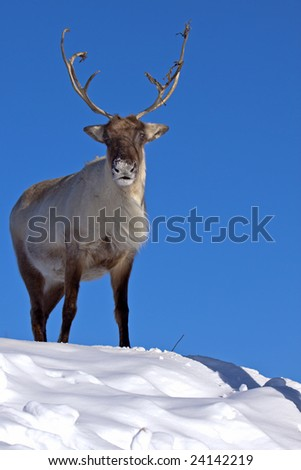 A reindeer atop the mountain - stock photo