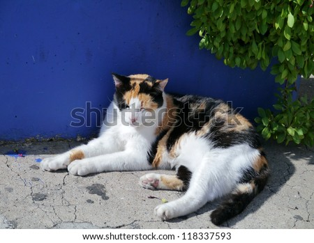 A resting calico cat opposite a blue wall - stock photo