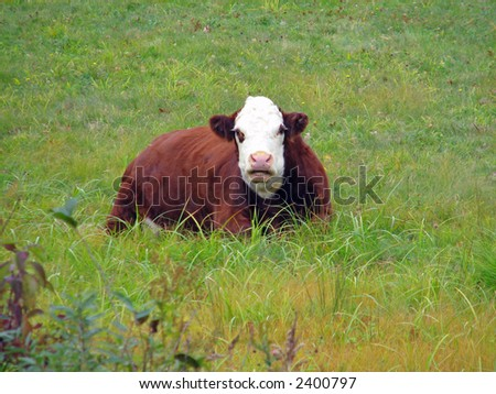 A resting cow in New England - stock photo
