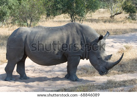 A rhino stands on a sand road crossing in the African bush - stock photo