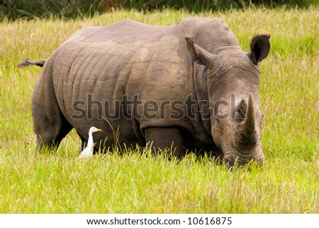 A rhino with a cattle egret in the long grass - stock photo