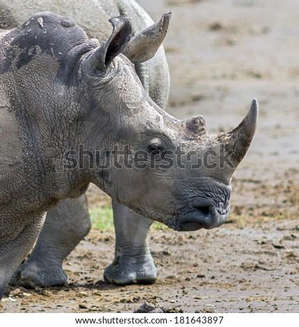 A rhinoceros at Lake Nakuru National Park - Kenya, Africa - stock photo