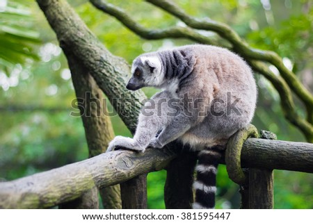 A ring-tailed lemur (Lemur catta) in a pensive pose sitting on a log - stock photo
