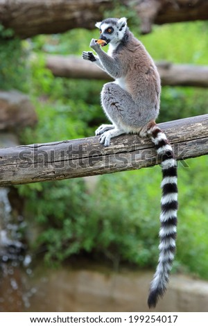 A ring-tailed lemur (Lemur catta) is eating a fruit while sitting on a log - stock photo