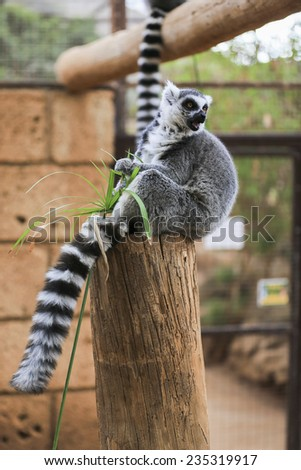 A Ring-tailed lemur sits and looks around - stock photo