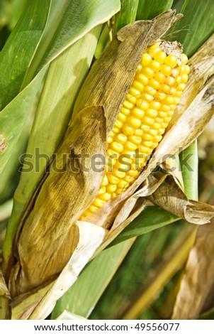 a Ripe dry maize cob still on the plant - stock photo