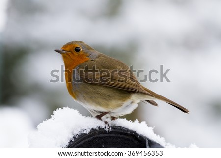 A Robin perched in the snow. - stock photo