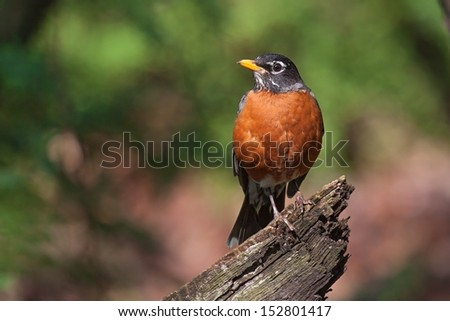 a robin sits on top of a fallen branch.  - stock photo