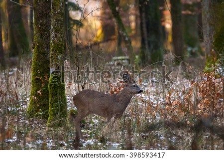 A roe deer buck looks around in the forest at sunset after a light snowfall. - stock photo