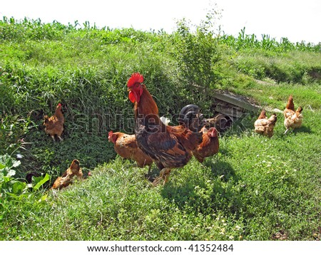 A rooster and chickens feeding on the field near a canal - stock photo