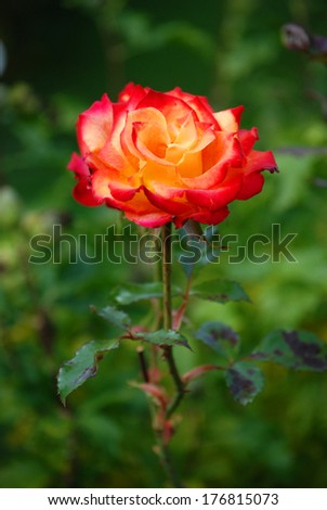 A rose in full bloom. - stock photo