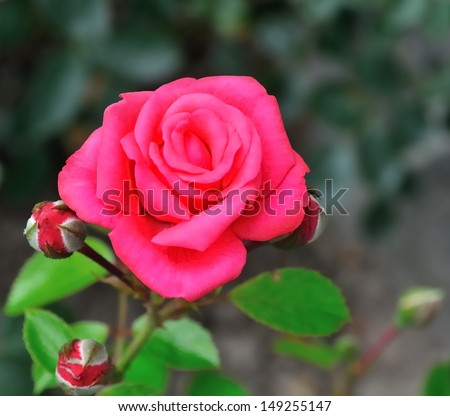 A rose in the foreground with two buds and a green background - stock photo