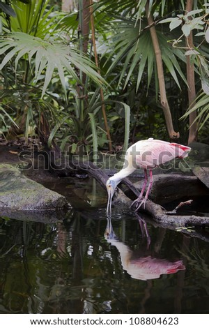 A Roseate Spoonbill (Platalea ajaja) drinking at a pond meets up with its reflection in the water. - stock photo