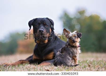 A Rottweiler and a Yorkie friendship - stock photo