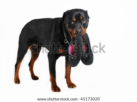 a rottweiler holding slippers in his mouth - stock photo