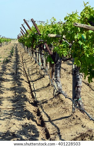 A row of grapevines in a field. - stock photo