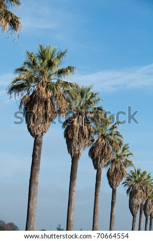A row of palm trees with blue sky - stock photo