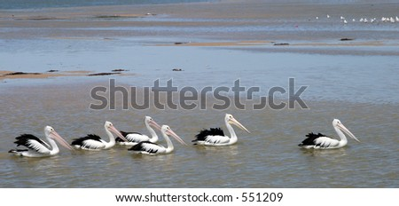 A row of pelicans swimming across the bay - stock photo