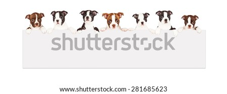 A row of seven week old Boston Terrier breed puppies hanging over a long blank banner. Isolated on white.  - stock photo