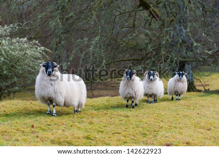 A row of sheep walking in a pasture - stock photo