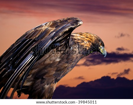 A royal eagle against the sunset - stock photo