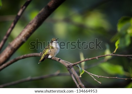 A Ruby-throated Hummingbird perched on a tree branch. - stock photo