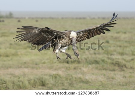 A Ruppell's vulture (Gyps rueppellii) prepares to land in the Ndutu area of the Ngorongoro Conservation area, Tanzania - stock photo