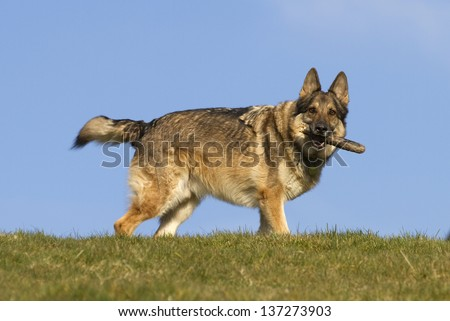 A sable German Shepherd Dog holding a stick stood on top of a green hill with a clear blue sky behind him.  He is wearing a collar and tag. - stock photo