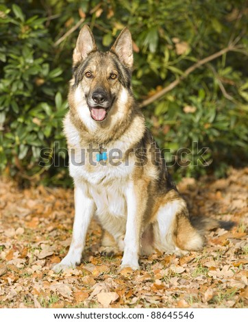 A sable German Shepherd Dog sat on autumn leaves looking at the camera. The dog is wearing a collar and tag and has green foliage behind him. - stock photo