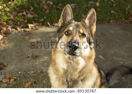 A sable German Shepherd Dog sitting down on the ground looking at the camera waiting for an order or command.  He is wearing a collar and tag. Taken outside during autumn. - stock photo