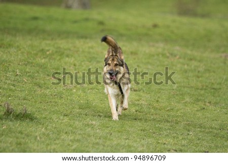 A sable German Shepherd Dog wearing a collar and tag.  He is running on grass towards the camera with his tongue out and tail up. - stock photo