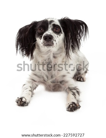 A sad looking Papillon Mixed Breed Dog - stock photo