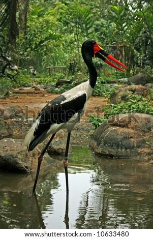 A Saddlebill stork in the wilderness - stock photo