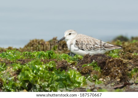 A Sanderling (Calidris alba) resting in seaweed at the beach - stock photo