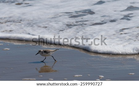 A sandpiper or sanderling running from the tide - stock photo
